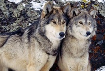 Wolves, Coyotes, Foxes / Mysterious and wonderful... / by Leah Price Hawks