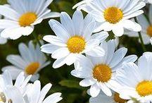 Daisies / Marguerites / Daisies / Marguerites