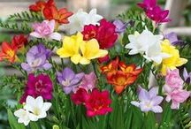 Freesias / Freesias