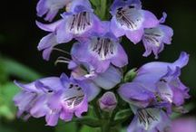 Penstemon / Penstemon