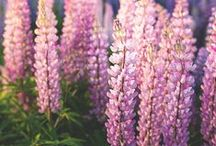 Lupins / Lupines / Lupins / Lupines
