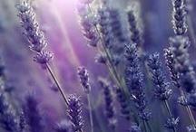 Love Lavender