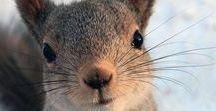 Animaux2. Ecureuils / Les écureuils sont encore nombreux mais comme beaucoup d'animaux ils ont besoin des arbres pour nicher .. la déforestation ici et ailleurs les met en danger .. Il faut apprendre aux enfants à les aimer et à les aider ..