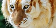 Animaux8 Tigres