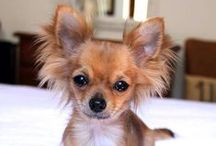 """Chic4Dog"" Chihuahua! / #Chihuahua Only! Special board reserved to this little big breed"