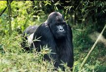 Gorilla Trekking and Luxury Travel in Rwanda / Ker Downey takes an in-depth look at the ins and outs of traveling to Rwanda and the incredible country that has become one of Africa's greatest success stories.
