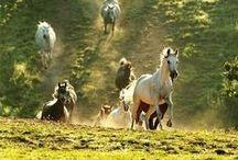 Lovak-horses