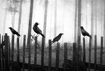 Ravens Crows and Blackbirds / From Never more to all in a row.  These birds have fascinated man who has created endless myths and legends about these birds. / by ArtsnEnds4