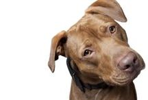 """Dan / Rescued from the euthanasia list at a kill shelter in Manhattan. Dan is now a """"breed ambassadog"""" and he is also the inspiration for Sav-a-Bull Pit Bull Rescue."""