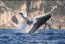 Whale Tours Albany / We have 2 wonderful Whale Watching Charters here in Albany. Albany Whale Tours and Albany Ocean Adventure. Both sail daily in whale season from 9 or 9:30am and cruise for about 3-4 hours. Check out their websites, www.albanywhaletours.com.au or www.whales.com.au