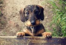 my future dachshund / all about my future baby
