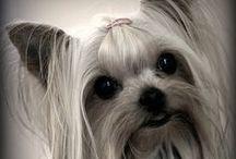 Dogs - Yorkies