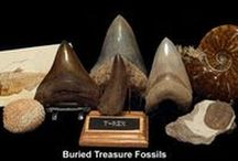 Fossils for Sale - BTF / A  sample of the wide variety of quality fossils for sale from Buried Treasure Fossils. Authenticity guaranteed.