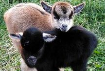 Raising Goats / Time to GOAT started!!! Tips for the beginner goatkeeper, backyard goat care tips, and the most adorably cute baby goats.
