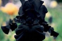 Iris:  Garden / For the most part this board contains tall bearded Iris, however, there are a few dwarf bearded Iris also.  I have found discrepancies with some of the names but change it when I can. / by Carla Cartwright