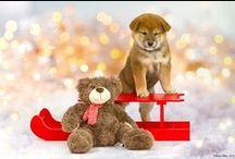 Mes photos / shiba inu  dogs chiens animaux de compagnie