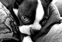 Boston Terriers Rock! / by Bridget Vernon