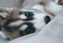 Ara / Ara, my Siberian Husky.   19th of July 2014