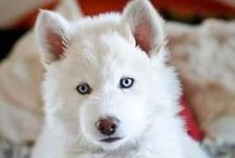 Siberian Huskies / My loves.  I own two and used to breed them.