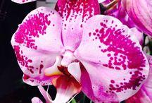 Phaleanopsis  / Orchidee