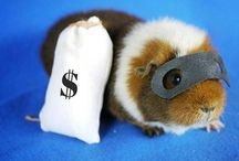 Guineas! / Guinea Pigs and Guinea Pigs In Fancy Dress