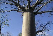 b o a b a b & other trees, random /tomtom