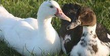 Ducks&quacks