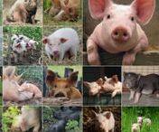 Kaarten - Cards 1 - Te Koop / met varkens, gedichten en gezegdes  - er zijn kaarten te koop - per stuk - met envelop  - voor: 1,00 euro  - fml.varkens@xs4all.nl