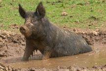 Modder varkens - Mud Pigs / Varkens in de modder