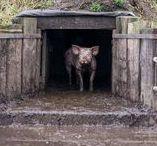 Varkens in de Stal / Varkens in de stal - op het stro