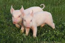 Biggen - Piggies / Lief en klein - Sweet and small