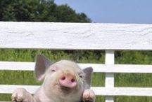 Hek - Fence / varkens op het hek