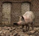 Varkens - Pigs / allerlei soorten varkens