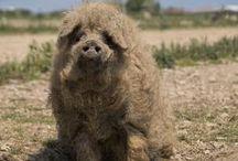 Mangalitza  of  Wolvarkens / Varkens met een vacht van wol
