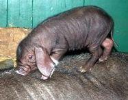 Meishann varkens / Rimpel varkens