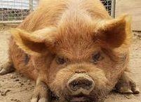 Kune Kune varkens / Kleine varkentjes