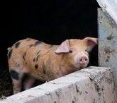 Oxford Sandy / De Oxford Sandy Black Pig is een zeldzame traditionele RAS van varkens.