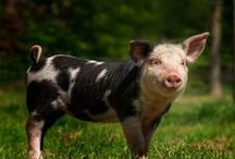Bentheimer varkens / gevlekte varkens