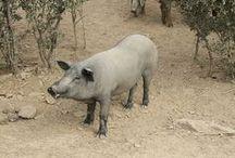 Iberische varkens /  en..... Zwarte varkens