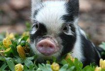 Mini Varkens - Micro Pigs / Kleiner dan klein