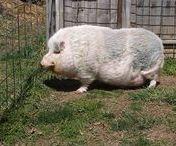 Hangbuikzwijn - Potbelly Pig / Aanzienlijk kleiner dan de standaard Europese boerderij varkens, de meeste volwassen hangbuikzwijnen zijn over de grootte van een middelgrote of grote ras hond