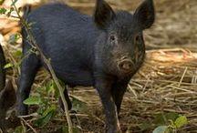 Ossabow Varkens / Het Ossabaw varken is een belanrijk ras