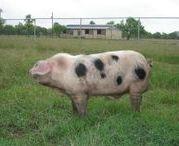 Gloucestershire old spot / Gloucestershire old spot is een Engels varkensras, overwegend wit met zwarte vlekken.