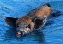 Zwemmende Varkens / Modder of Water - heerlijke verkoeling voor het Varken.