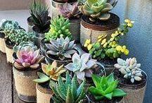 Succulents / Cactus & C.