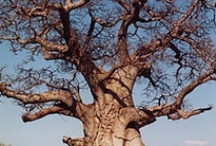 Bountiful Botswana / Okavango Delta, Chobe, Savuti, Moremi - Botswana is one of the most pristine, untamed safari destinations in southern Africa.