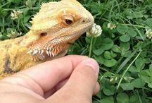 Bearded dragons / I really really want one