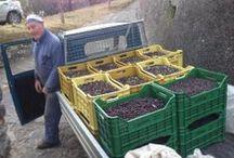 Tuscan Olive Oil Harvest