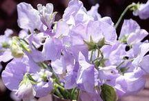 sweet peas fine flowers