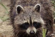 Raccoon ~ Photography, Facts / Facts and photos of raccoons. Inspiration: Booby Coon - character from Thornton W. Burgess books